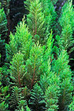 Evergreen tree Royalty Free Stock Image