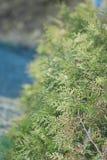 evergreen tree Obraz Royalty Free