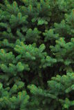 Evergreen Tree. A close-up of an Evergreen tree's branches stock photos
