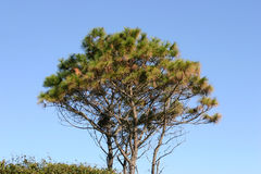Evergreen Tree stock photography