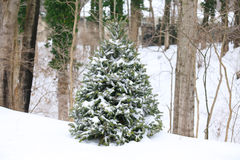 Evergreen tree Royalty Free Stock Photos