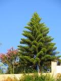 evergreen tree Obrazy Stock