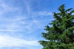 evergreen tree Zdjęcie Royalty Free