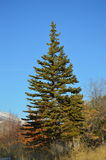Evergreen tree against a very blue sky. Evergreen tree in the fall against a big sky Stock Photos