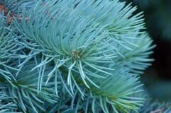 evergreen tree obrazy royalty free