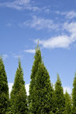 Evergreen tree background Royalty Free Stock Photos