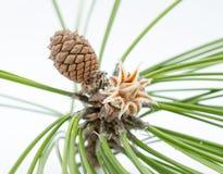 Evergreen tree blossom Royalty Free Stock Photography
