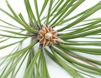Evergreen tree blossom Stock Images