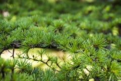 Evergreen tree branch stock photos