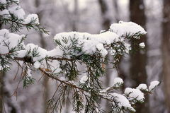 Evergreen Tree Branch after Fresh Snow Royalty Free Stock Image