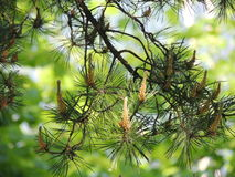 Evergreen tree branch pine summer Royalty Free Stock Photos