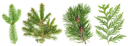 Evergreen tree branch set isolated on white. Coniferous plants Stock Image