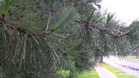 A evergreen tree branch wet with tiny water drops after a spring rain. stock video footage
