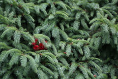 Evergreen. Tree branches with hidden red blooms Royalty Free Stock Photo
