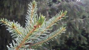 Evergreen tree bud Royalty Free Stock Photos