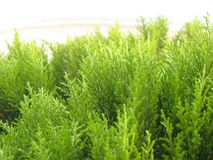 Evergreen tree close up Stock Photo