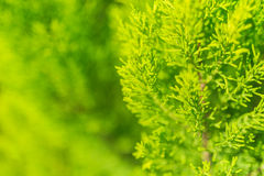 Evergreen tree close up Royalty Free Stock Photography