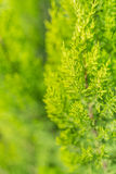 Evergreen tree close up Stock Images