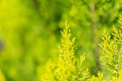 Evergreen tree close up Stock Photography
