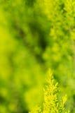 Evergreen tree close up Royalty Free Stock Photos