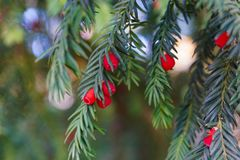Evergreen tree close up. Yew tree. Green natural pattern. Taxus baccata. royalty free stock images