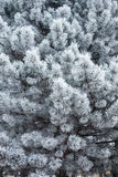 Evergreen tree covered with frost Royalty Free Stock Image