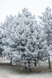 Evergreen tree covered with frost Stock Photography