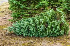 An evergreen tree cut from a nursery Royalty Free Stock Image