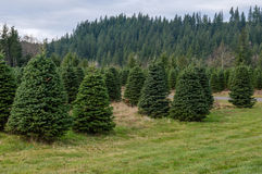 Evergreen tree farm growing fir trees. A tree farm growing fir trees for Christmas decorations Stock Image