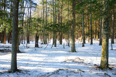 Evergreen tree forest Stock Image