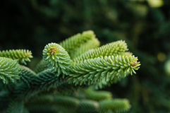 Evergreen tree with fresh needles Stock Photo