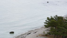 Evergreen tree growing next to the ocean on the island of Gotland stock footage