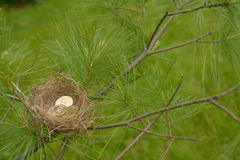 Evergreen tree holding nest with gold, U.S., Sacagawea coins. Evergreen tree holding small birds nest with three gold, U.S., Sacagawea coins on thin branches Stock Photography