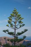 Evergreen tree on Imerovigli Santorini Island greece stock photo