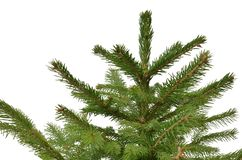 Evergreen tree isolated on white