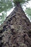 Evergreen tree Royalty Free Stock Photography