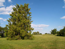 Evergreen tree in a park Royalty Free Stock Photos
