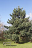Evergreen tree in a park. Evergreen tree with picnic table nearby in a bird garden in Tauranga, New Zealand Royalty Free Stock Photography