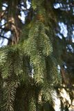 Picea abies branch close up. Evergreen tree of Picea abies stock images