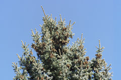 Evergreen tree with pine cones Royalty Free Stock Images