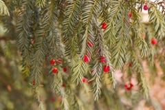 evergreen tree się blisko Cisowy drzewo naturalny zielony wzór Taxus baccata zdjęcie royalty free