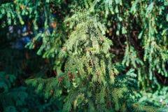 evergreen tree się blisko Cisowy drzewo naturalny zielony wzór Taxus baccata obrazy royalty free