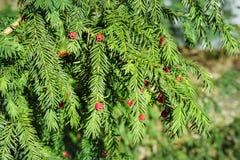 evergreen tree się blisko Cisowy drzewo naturalny zielony wzór Taxus baccata zdjęcie stock