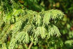 evergreen tree się blisko Cisowy drzewo naturalny zielony wzór Taxus baccata obraz stock