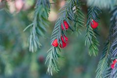 evergreen tree się blisko Cisowy drzewo naturalny zielony wzór Taxus baccata fotografia stock
