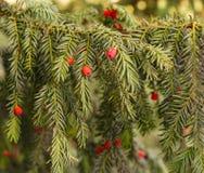 evergreen tree się blisko Cisowy drzewo naturalny zielony wzór Taxus baccata obraz royalty free
