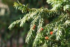 evergreen tree się blisko Cisowy drzewo naturalny zielony wzór Taxus baccata zdjęcia royalty free