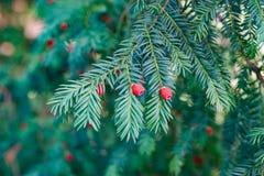 evergreen tree się blisko Cisowy drzewo naturalny zielony wzór Taxus baccata fotografia royalty free