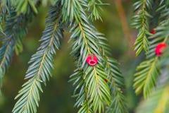 evergreen tree się blisko Cisowy drzewo naturalny zielony wzór Taxus baccata obrazy stock