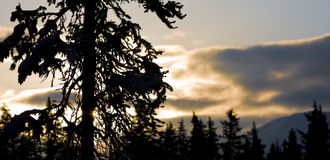 Evergreen Tree Silhouette Stock Photos